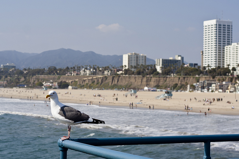 Una gaviota admira la playa de Santa Mónica Los Angeles, California