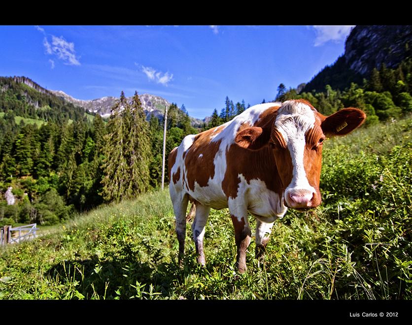 Vaca en el lago Negro, Suiza