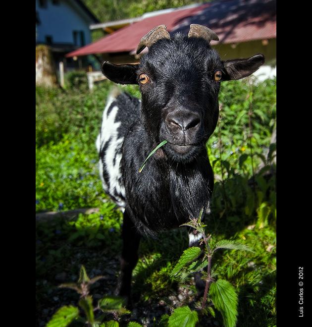 Una cabra en el Lago Negro de Suiza