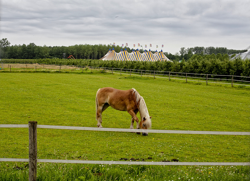 Un caballo pasta en la campiña de Rock Werchter, Bélgica